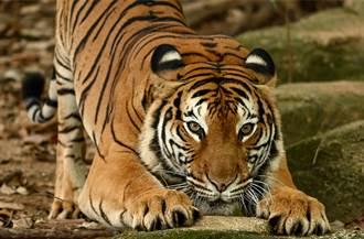 猛虎被激到跳上3公尺樹PK豹 大貓對決專家驚:很少見