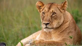 獸王也擋不住 印度1獅感染新冠死亡 另有8隻確診