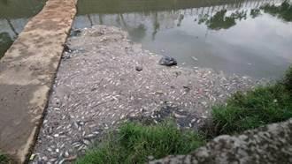 梧棲大排又驚見魚群暴斃 居民要求環保局徹查