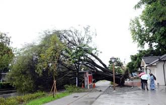 不敵豪雨 屏東將軍之屋旁一甲子老榕樹倒了
