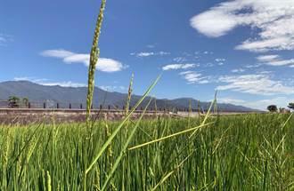 長太高卻笑不出來!池上鄉部分水稻染「稻公」 損失逾2成