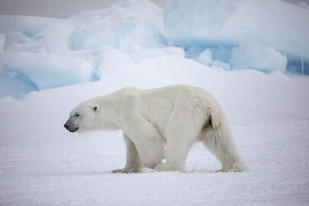 ▲努納武特地區的北極熊。 圖:加拿大旅遊局╱提供