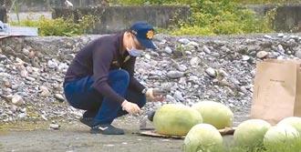 花蓮一夜偷走500顆西瓜 瓜農損失21萬