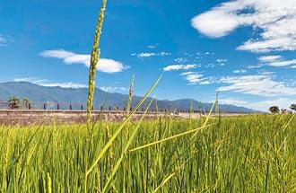 池上水稻2成染病 伯朗大道農民叫苦