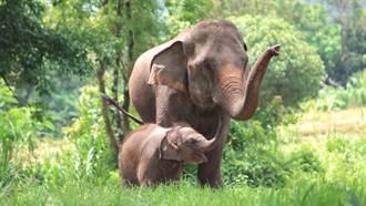 雲南北遷野象暫停休息 「漩渦式睡姿」環繞小象 萌翻萬人