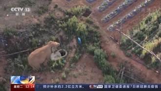 雲南北遷亞洲野象群持續移動 陸媒盛讚美日媒體客觀報導