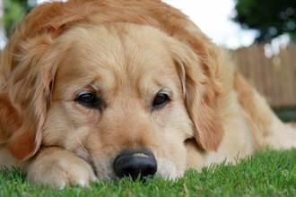 飼主遛狗失足溺斃 忠犬苦守岸邊一天一夜 眼睛全哭紅