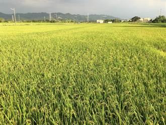防疫配合一期作收穫 農糧署輔導稻農繳穀措施