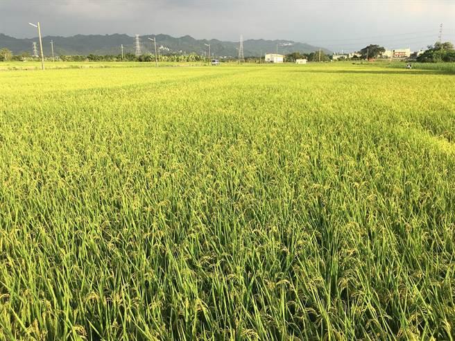 農糧署建議,水稻可於成熟時再收穫,避免青(搶)割集中收穫情形,以利分散繳穀人流。(農糧署提供)