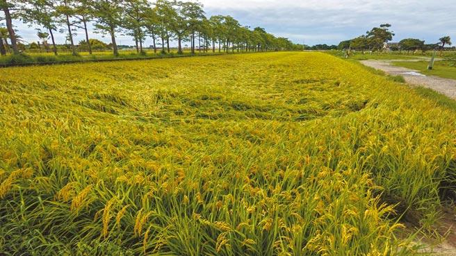 受連日豪雨影響,台南部分一期稻作出現倒伏。(張毓翎攝)