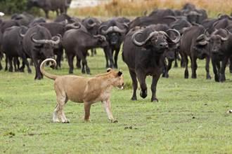 猛獅撲向百隻水牛想飽餐一頓 反被攻擊秒孬跳樹上變小貓
