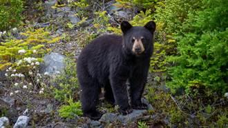 男子遇黑熊竟興奮打招呼 下秒牠暴衝猛追被嚇歪