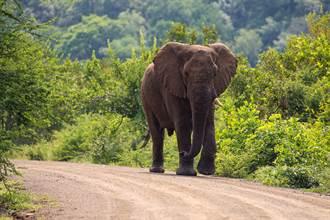 象夫過世 大象徒步2小時見最後一面 伸鼻致敬引淚崩
