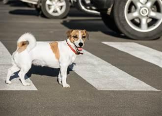 狗衝出站斑馬線上 堅持用肉身擋車 駕駛一看飼主秒淚崩
