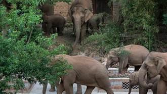 北遷象群離開昆明進入玉溪市易門縣 離群獨象距象群12公里較危險