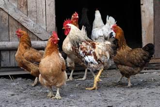 6年輕人抓2母雞1公雞烤來吃進法院 養雞嬤1句話救援成功