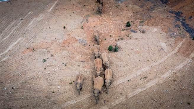 雲南西雙版納自然保護區15頭亞洲象一路從普洱、紅河、玉溪北上至昆明市晉寧區盤桓,「大象到哪兒了」成為大陸網路熱門話題。(新華社資料照)