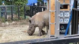 台日友好再一樁!促全球犀牛血緣豐富化 犀牛妹艾瑪風光抵日