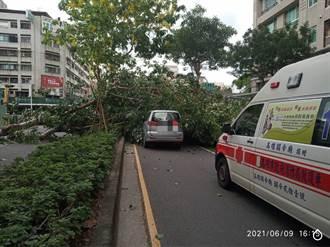 高雄無風雨巨大路樹突然倒塌 女駕駛等紅燈衰壓車內受困