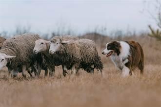 呆汪出車禍被彈飛 竟溜到別人家放羊 牧場主傻眼