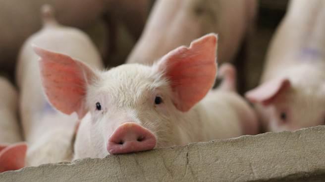 巴西農村近日生下一隻獨眼無鼻小豬,奇特外貌嚇壞眾人。圖片為示意圖(圖/shutterstock)