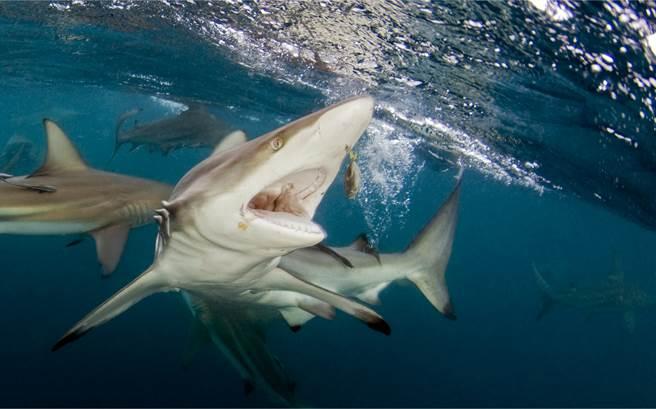 釣客釣到一條鰺魚,沒想到竟吸引3條鯊魚的注意,並躍出水面搶食。(示意圖/達志影像)
