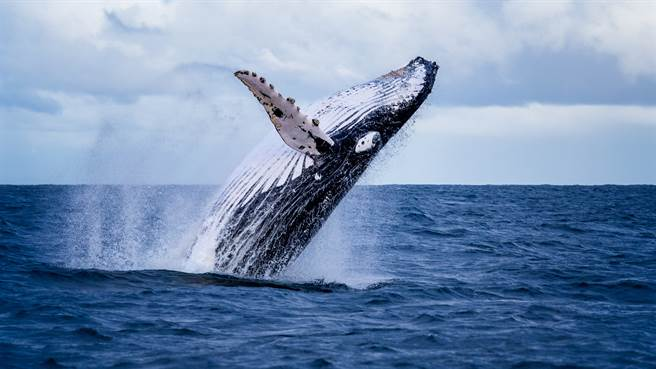澳洲18歲少年與繼父出海釣魚,卻遭到座頭鯨跳躍攻擊身受重傷。圖片為示意圖(圖/shutterstock)