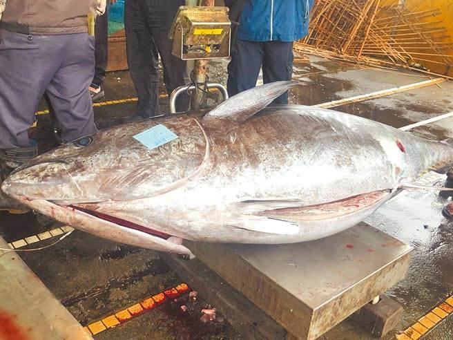 因受疫情影響,黑鮪魚創歷史低價,每公斤2000元跌到149元。(本報資料照)