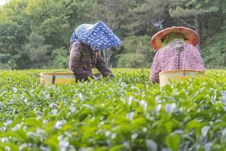 福壽山春茶5分鐘秒殺 農場分享搶訂撇步