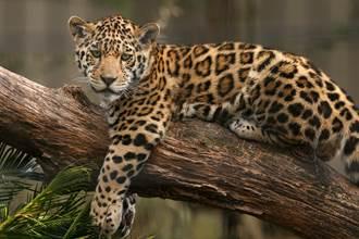 真的是親生?美洲豹幼崽竟是小黑豹 網一看秒懂