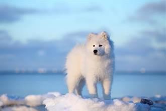 小薩摩耶走失流浪到北極 冰原深處奇蹟獲救