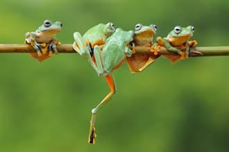 男聽信偏方一口氣生吞5隻青蛙 下場超慘