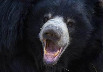 被猛熊挖出眼球、撕爛臉 衰男奇蹟逃脫:像被巨石壓住