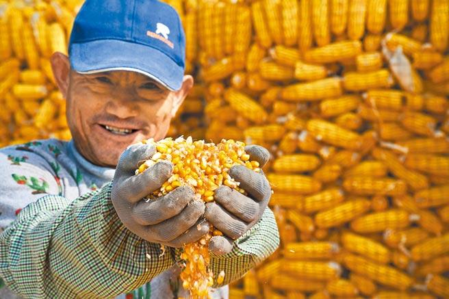 大陸大媽的最新關注熱點是大宗物資的玉米,有人囤積炒高價格,已遭專家示警。圖為山東青島的玉米豐收。(新華社)