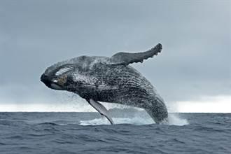 遭座頭鯨「生吞40秒」後再吐出 漁夫嚇傻:眼前一片黑