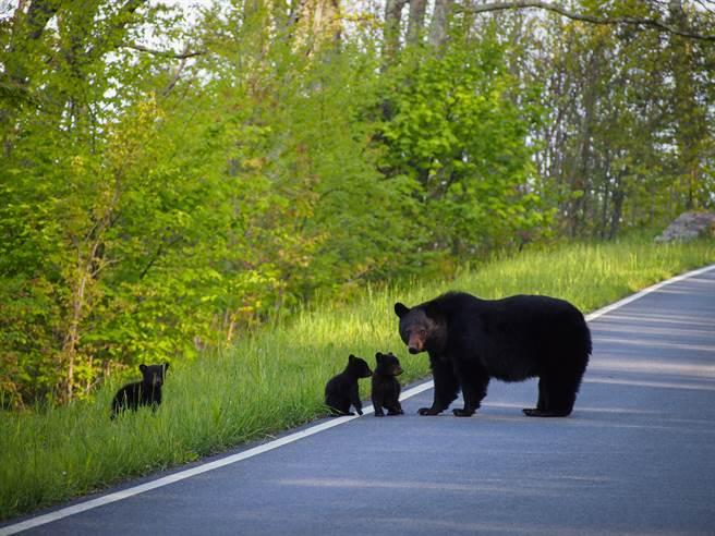 黑熊一家上街覓食遇超兇藏獒 幼崽嚇壞屁顛找熊媽當靠山