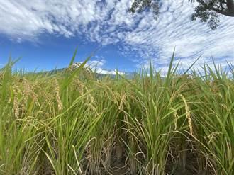 台東池上農民喜慶一期稻收成 二期觀望中