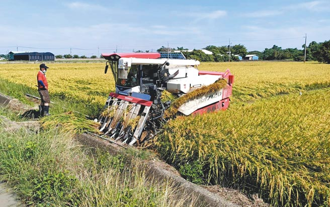 台南地區一期稻作進入收割期,近日溼穀收購價下跌,讓農民欲哭無淚。(張毓翎攝)