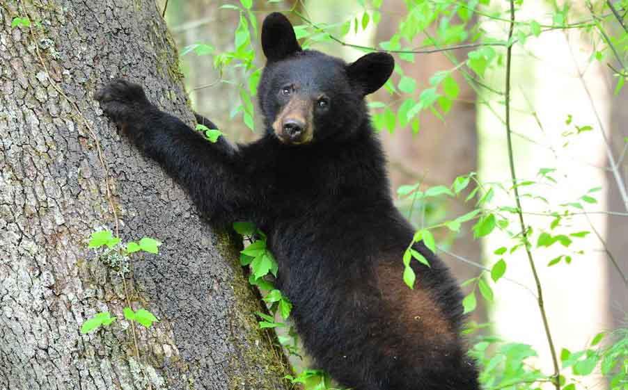 闯住宅觅食遇娇小约克夏 黑熊吓歪秒爬树逃难