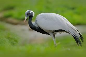 公園唯一「單身鳥」 蓑羽鶴告白頻遭拒 一見鏡子秒陷愛河