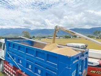 台東農民慶一期稻收成 憂二期缺水休耕
