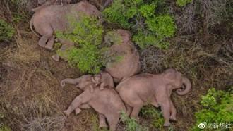 探秘北遷亞洲象 意外拍到萌化「大象群睡圖」場景