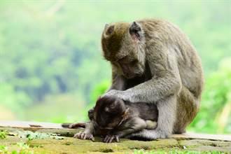 以為孩子還活著 母猴幫趕蒼蠅輕撫幼猴屍 攝影師鼻酸