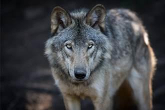 不忍被棄幼狼自生自滅 女收編養成大狗 愛撒嬌被誤認二哈