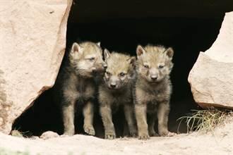 6幼崽躲巢穴遭棕熊破壞 狼夫妻心碎目睹骨肉被吞食