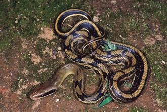 躺沙發午睡感覺背涼涼的 婦睜眼與大蛇相視秒發毛