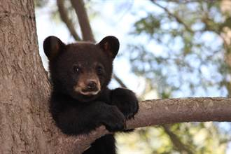 貪吃黑熊勇爬5層樓高大樹 霸佔蒼鷺巢穴爽嗑零食