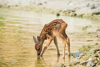 狗救溺水幼崽 等鹿媽來認兒才肯離開 隔天鹿母子登門道謝
