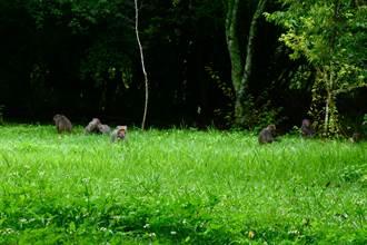 奧萬大沒遊客變野生動物樂園 50隻獼猴、山羌揪團狂歡