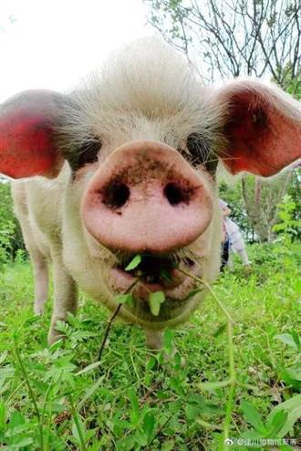 汶川大地震倖存希望象徵 豬堅強14歲高齡離世